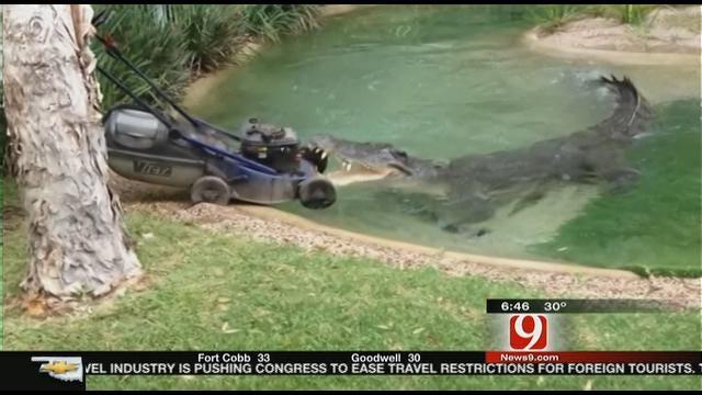 Big Crocodile Snatches Lawnmower