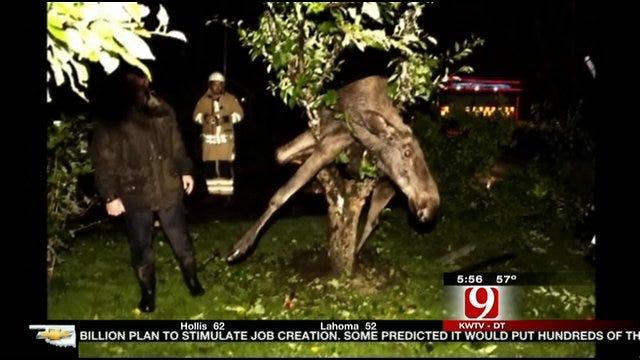 Drunken Moose Gets Trapped In Tree