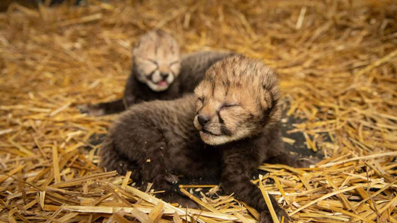 2 Cheetah Cubs Born By IVF For 1st Time In History