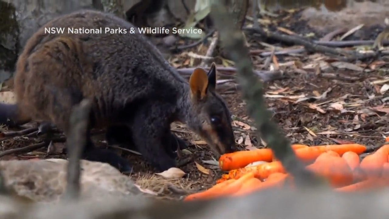 Australian Crews Drop Food To Save Wildlife Affected By Wildfires