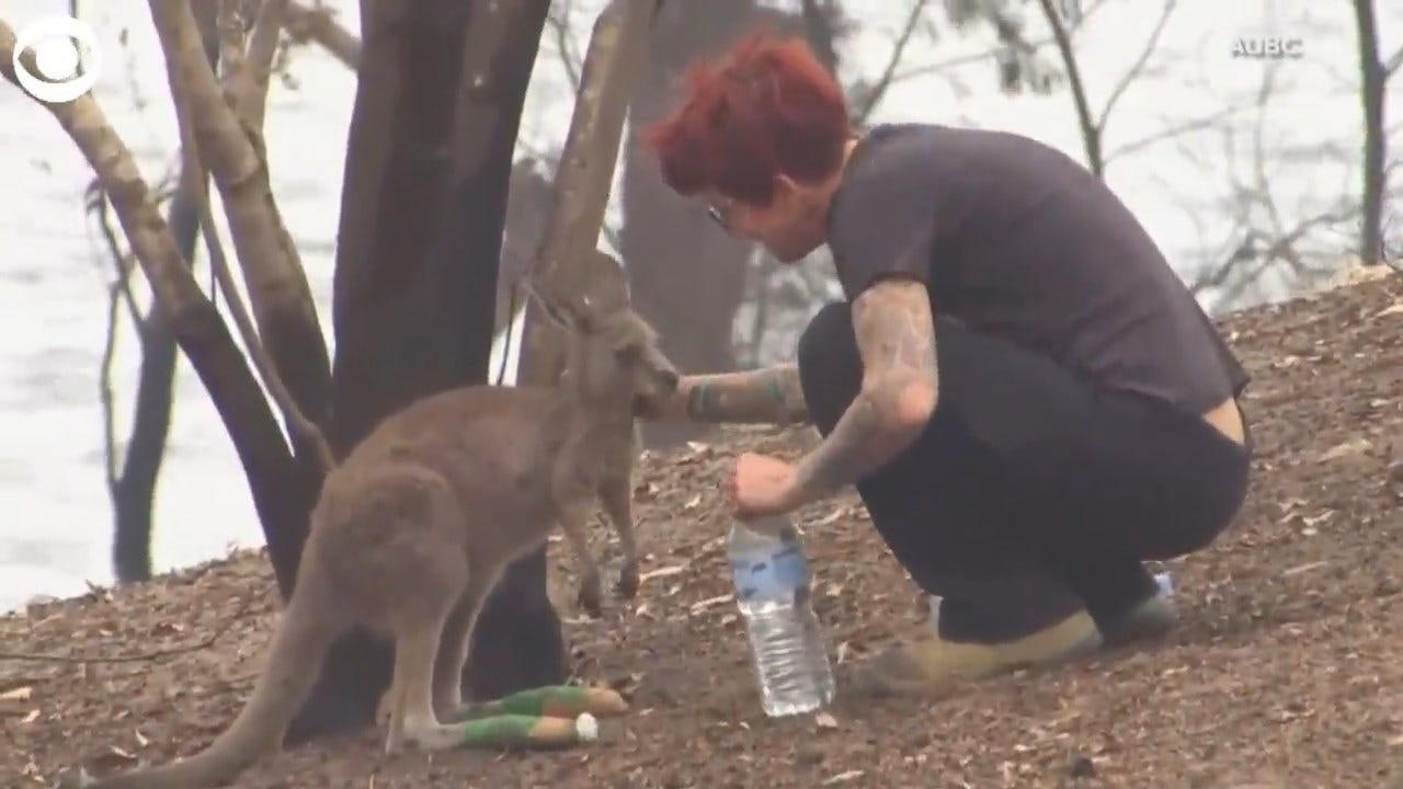 WATCH: Sanctuary Worker Tends To Injured Kangaroo In Australia