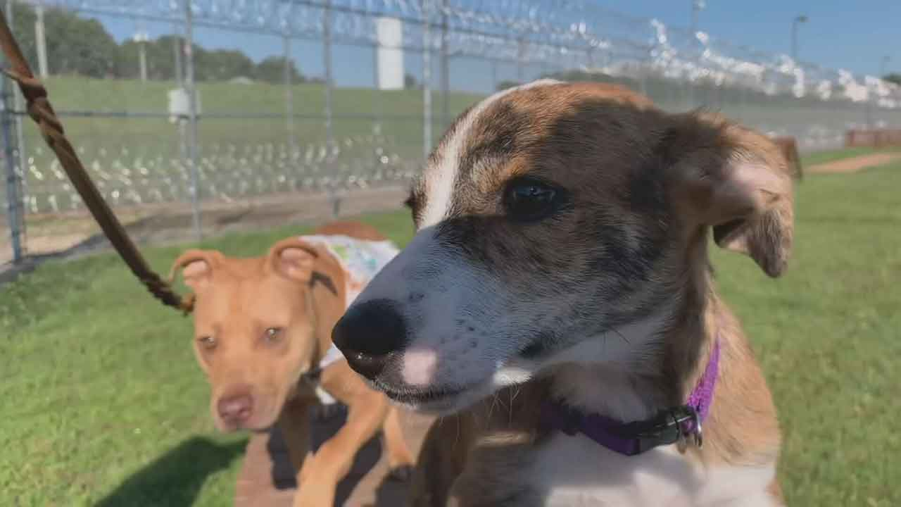Animals Rescued From Spencer Dog Fighting Ring Given New Futures