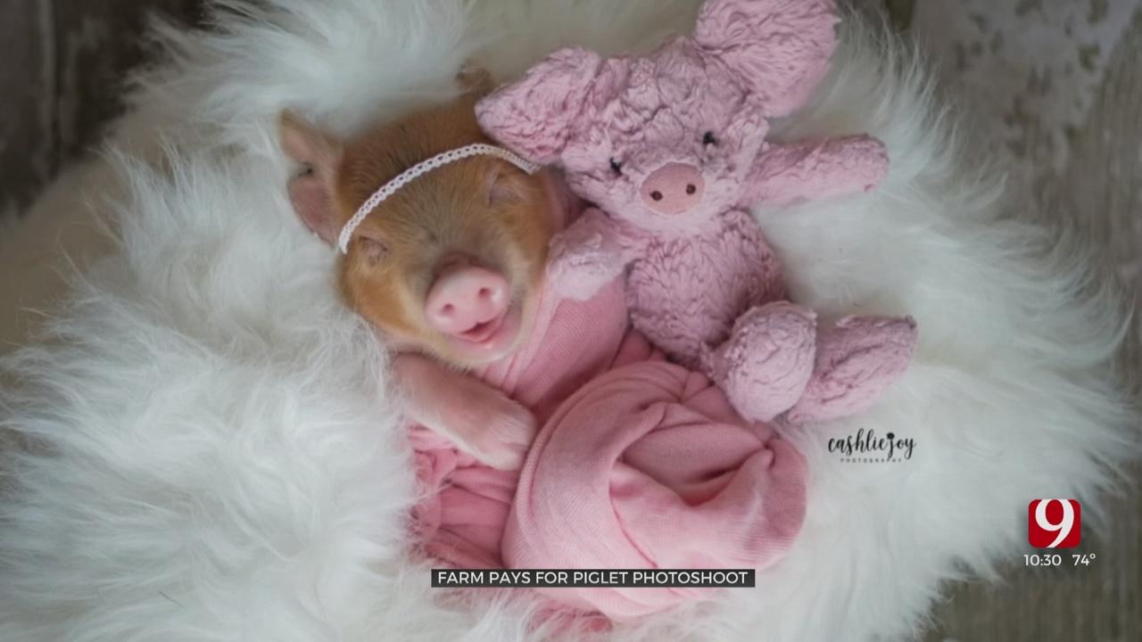 Oklahoma Photographer Captures Adorable Photos Of Newborn Piglet
