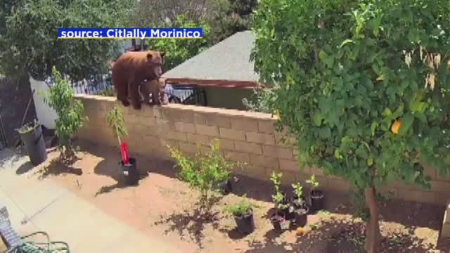 WATCH: California Teen Pushes Bear Off Wall To Save Her Dogs