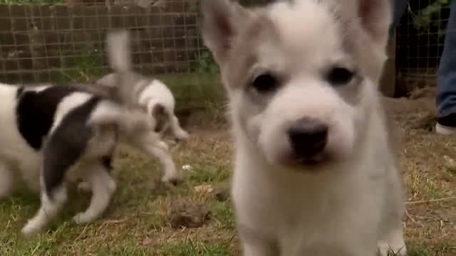 Increased Demand For Dogs During Pandemic Leads To Puppy Shortage