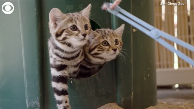 TOO CUTE! Meet The New Black-Footed Kittens At The San Diego Zoo