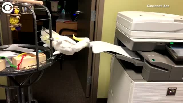 WATCH: Reggie, The Office Cockatoo, Makes Copies