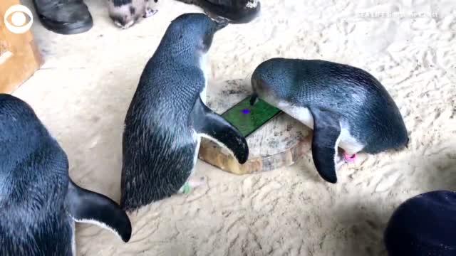 WATCH: Penguins Play Enrichment Exercises