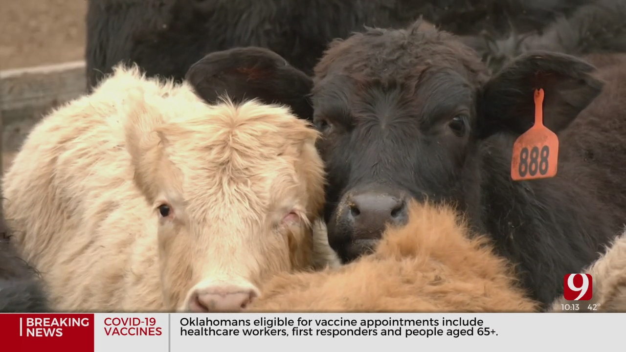 Business Booms At Oklahoma National Stockyards Amid COVID-19 Pandemic