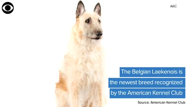 WATCH: Belgian Laekenois Is Newest Breed Recognized By The AKC
