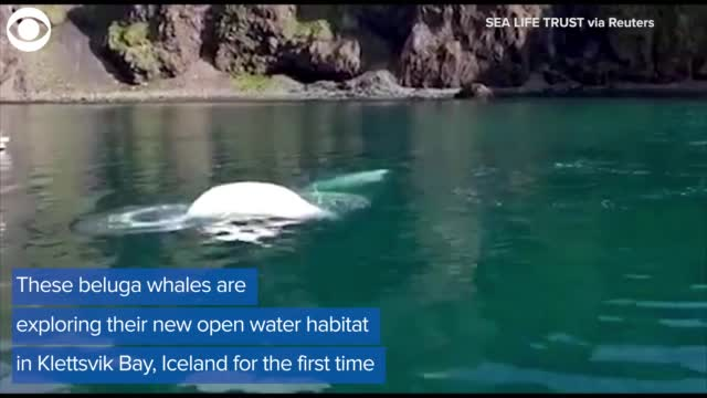 Watch: Belugas Swim In New Open Water Sanctuary For First Time