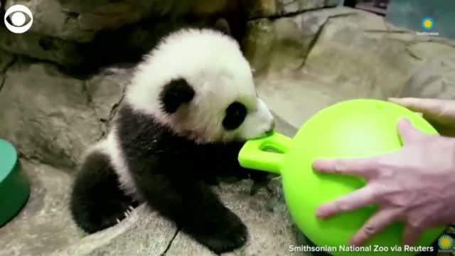 WATCH: Baby Panda Plays, Snacks During His Virtual Debut