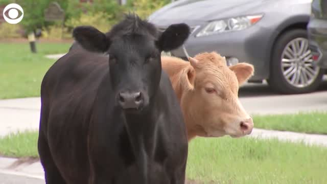 WATCH: Cows Spotted Roaming In Florida Neighborhood