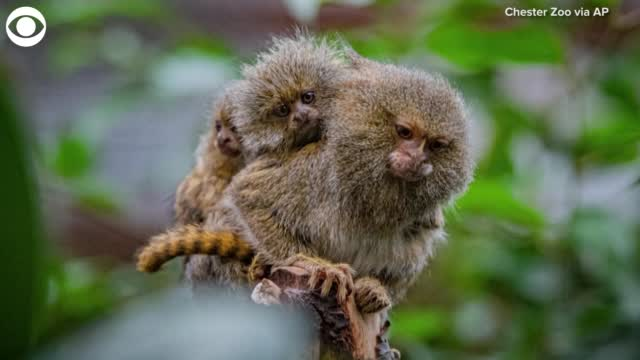 TOO CUTE: Pygmy Marmosets Born At Chester Zoo