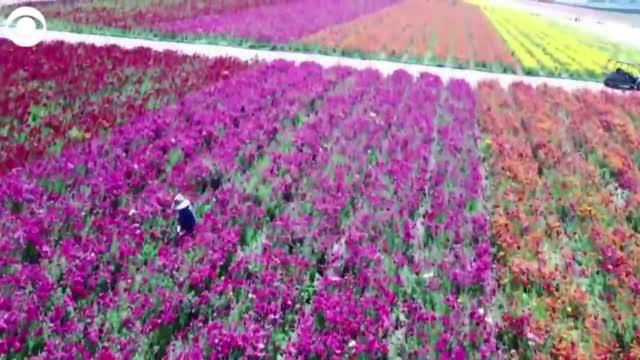 WATCH: People Flocked To Flower Fields In California