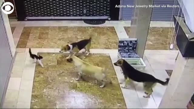 WATCH: Cat Rescues Kittens From Group Of Dogs