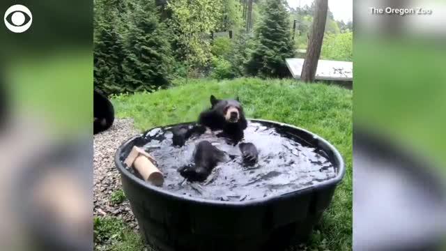 WATCH: Bear Splashes Around In A Tub