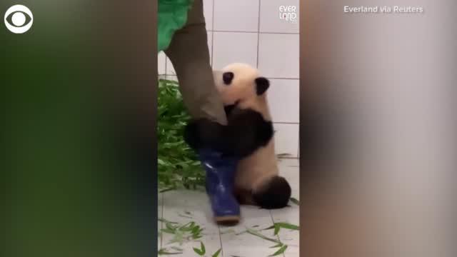 WATCH: Panda Clings To Zookeeper's Leg