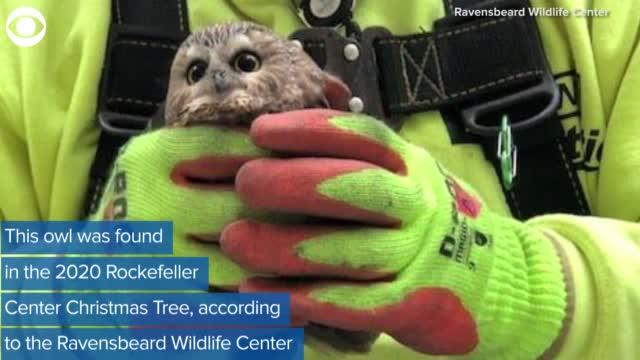 Owl Found In Rockefeller Center Christmas Tree