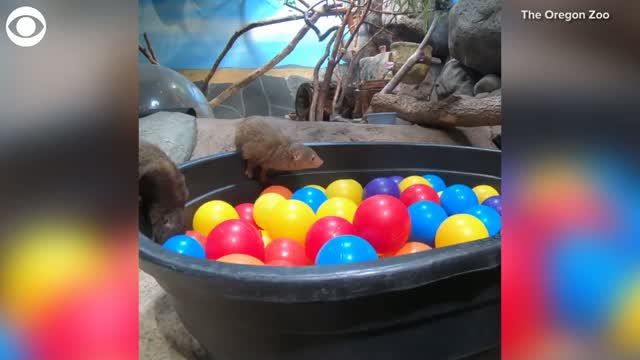 WATCH: Mongooses Play In Ball Pit