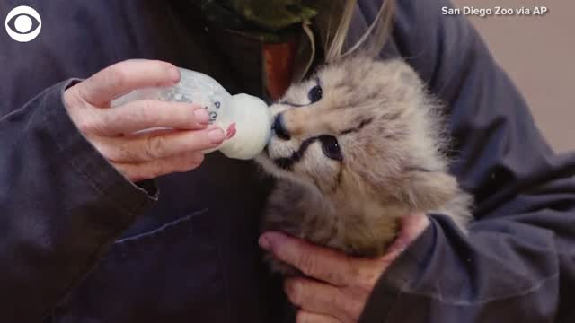 Cheetah Cub Being Hand-Raised At San Diego Zoo Safari Park