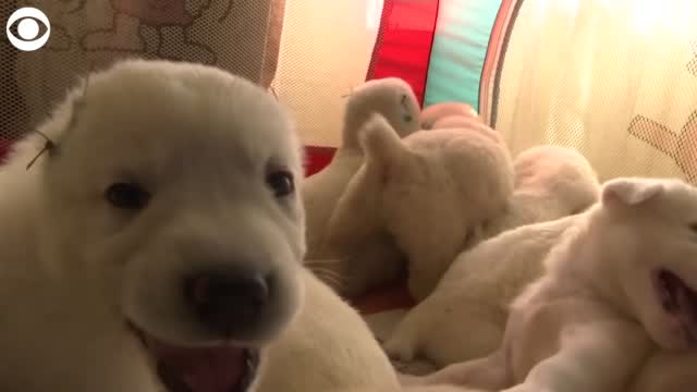 WATCH: Dog Gives Birth To 17 Puppies