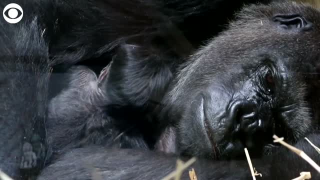 WATCH: 1-Day-Old Gorilla Cuddles With Mom In Zoo