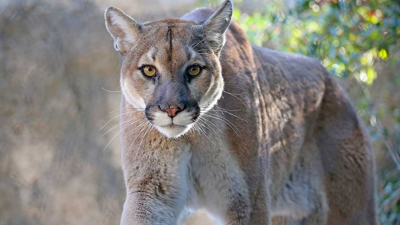 Luther Fire Department Warns Of Mountain Lion Sightings In Town