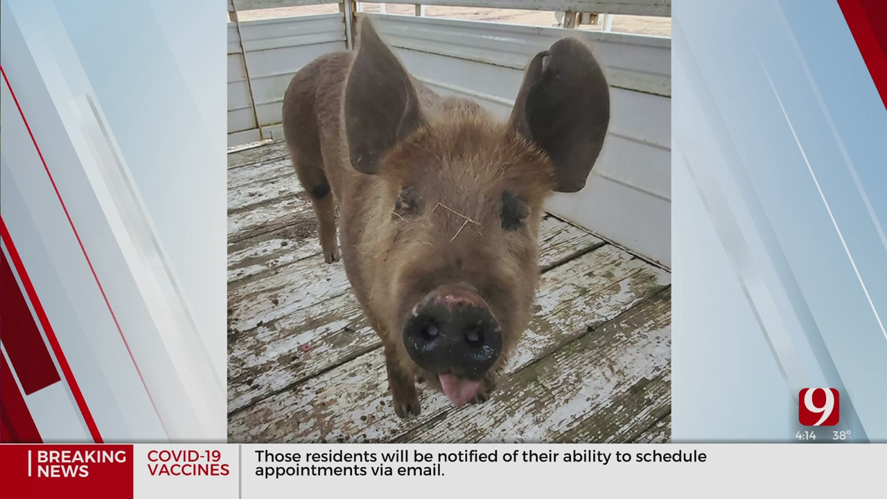 Enid Police Find Pig, Looking For Owner