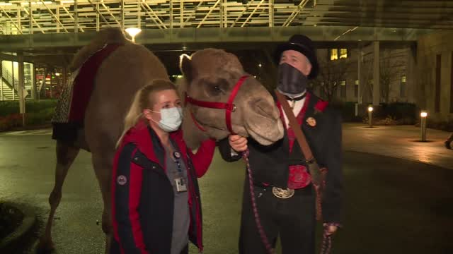Curley The Camel Bring Smiles To Hospital Workers' Faces