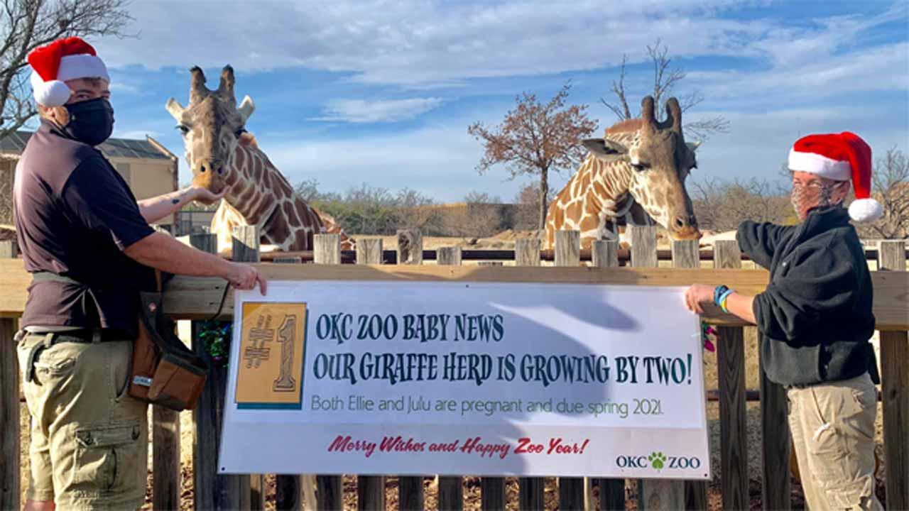 OKC Zoo Will Welcome 2 New Baby Giraffes In 2021