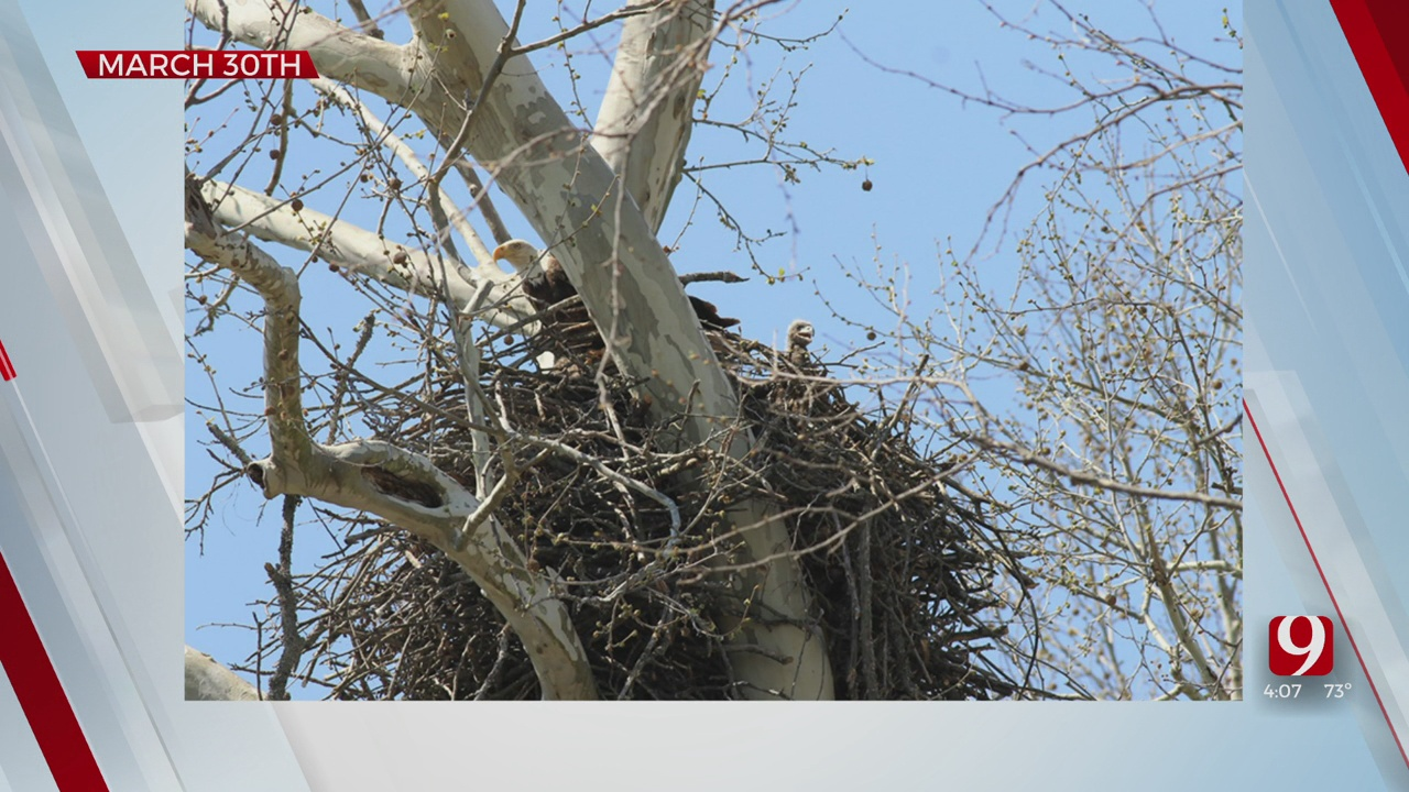 Bald Eagle Nest Confirmed Near Lake Of The Arbuckles