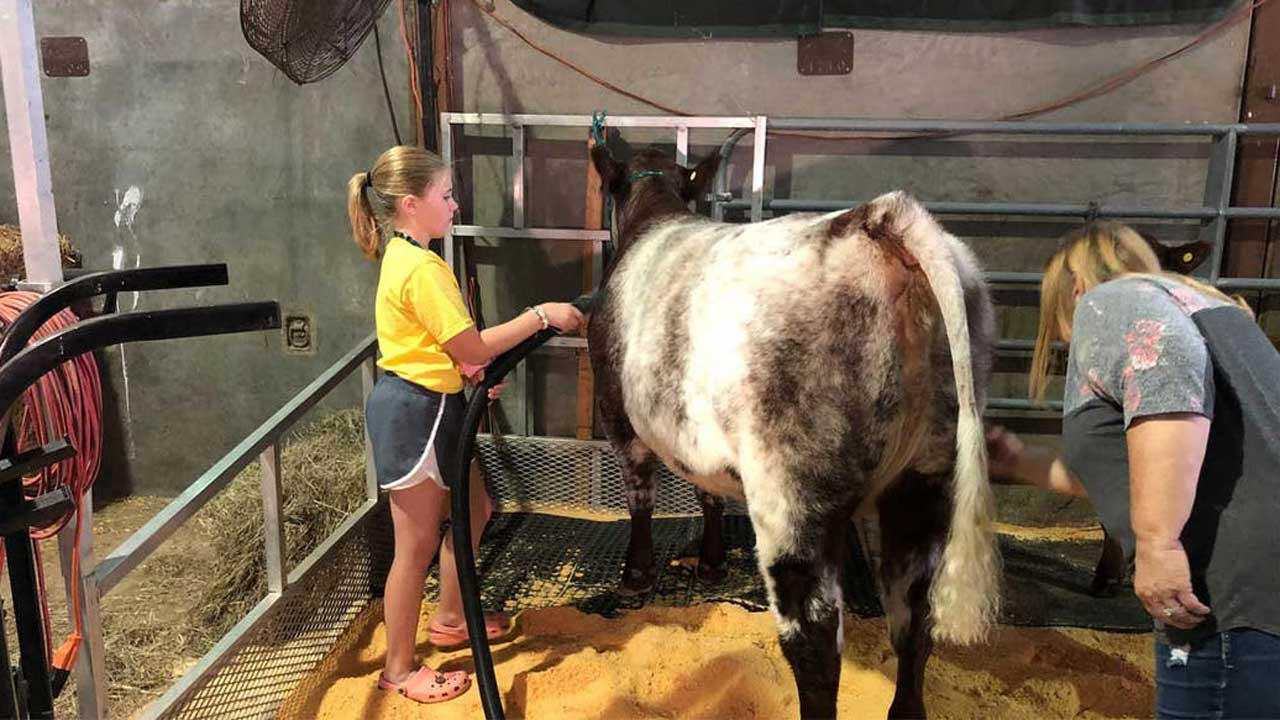 11-Year-Old Shows Work That Goes Into Prepping Her Heifer For Oklahoma State Fair Show