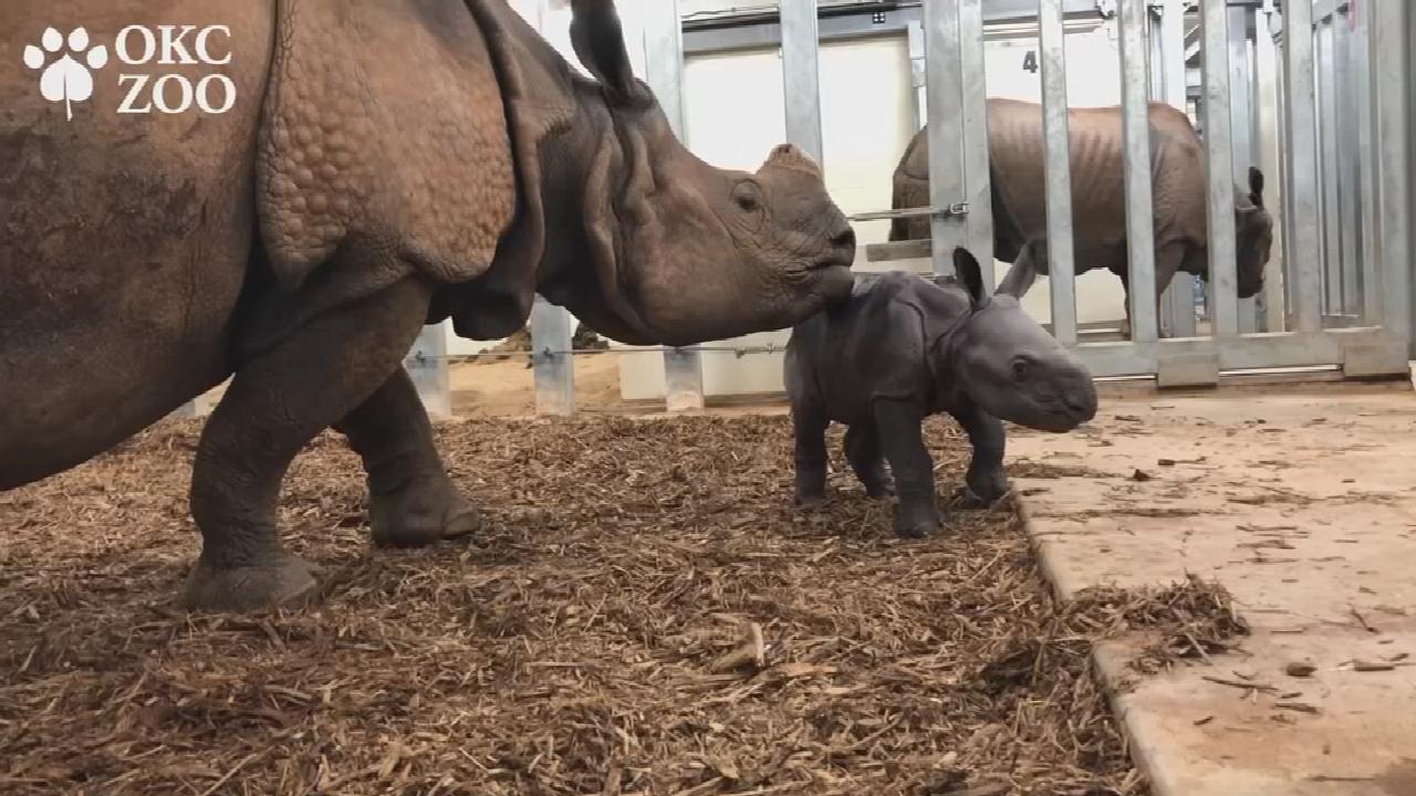 OKC Zoo Welcomes New Baby Rhino