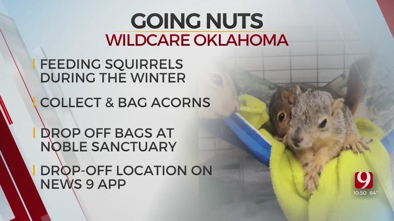 Wildlife Oklahoma Asking For Acorns To Help Feed Squirrels During The Winter