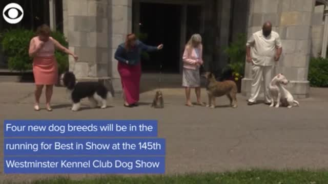 WATCH: 4 New Breeds To Compete In This Year's Westminster Kennel Club Dog Show