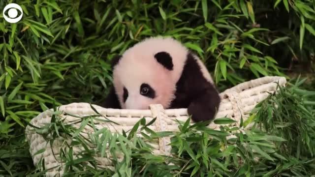 WATCH: Baby Panda Makes Her Public Debut