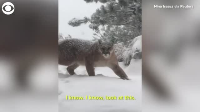 WATCH: Mountain Lion Appears Outside Of Colorado Home
