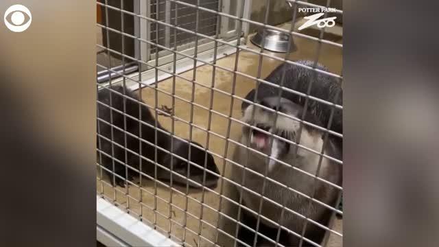 Watch: Otter Mom Enjoys Fish Breakfast