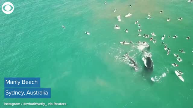 WATCH: Whales Swim Close To Surfers In Australia