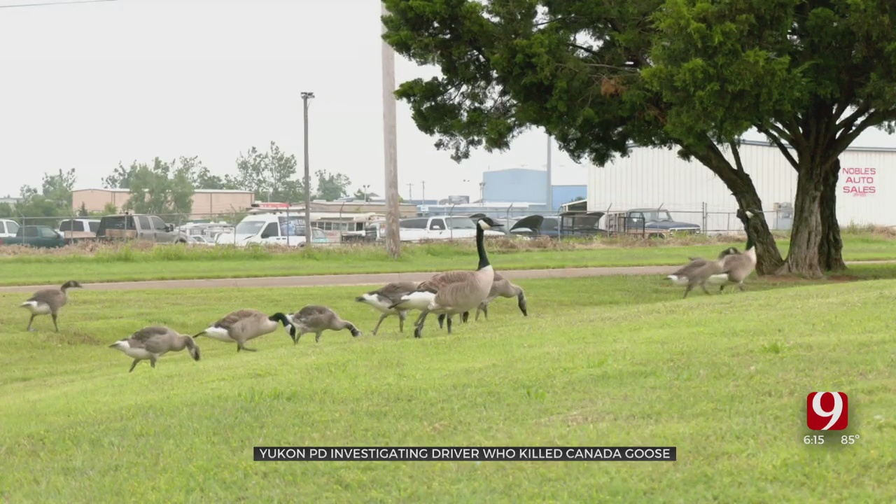 Police Investigate After Several Geese Run Over In Yukon