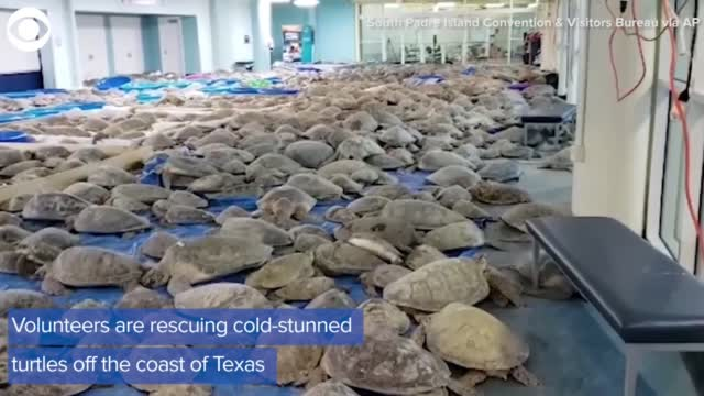 More Than 4,000 Cold-Stunned Sea Turtles Rescued From Freezing Texas Waters