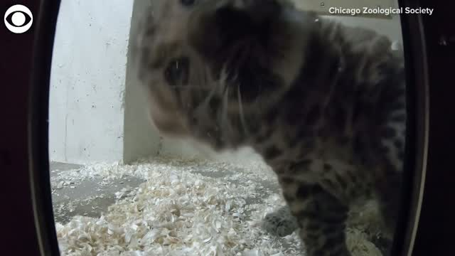 WATCH: Leopard Cub Claws At The Camera