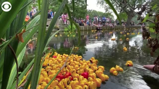 WATCH: Crowd Gathers To Watch Rubber Duck Race