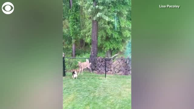 WATCH: Dog & Deer Play With Each Other