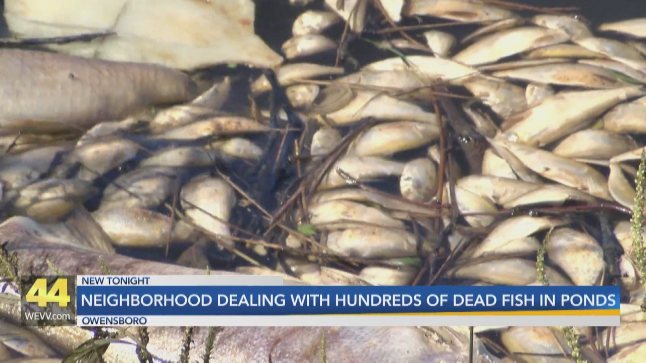 Image for Owensboro Neighborhood Dealing with 100's of Dead Fish Floating on Top of Ponds