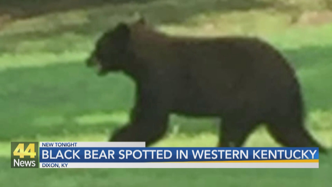 Image for Webster County Bear Sighting Under Investigation by Wildlife Officials
