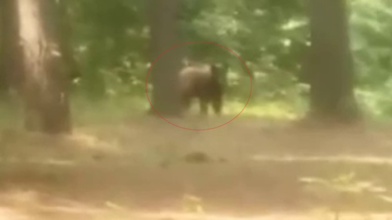 Image for Raw Video: Bear Spotted in Wooded Area of Dixon, Kentucky