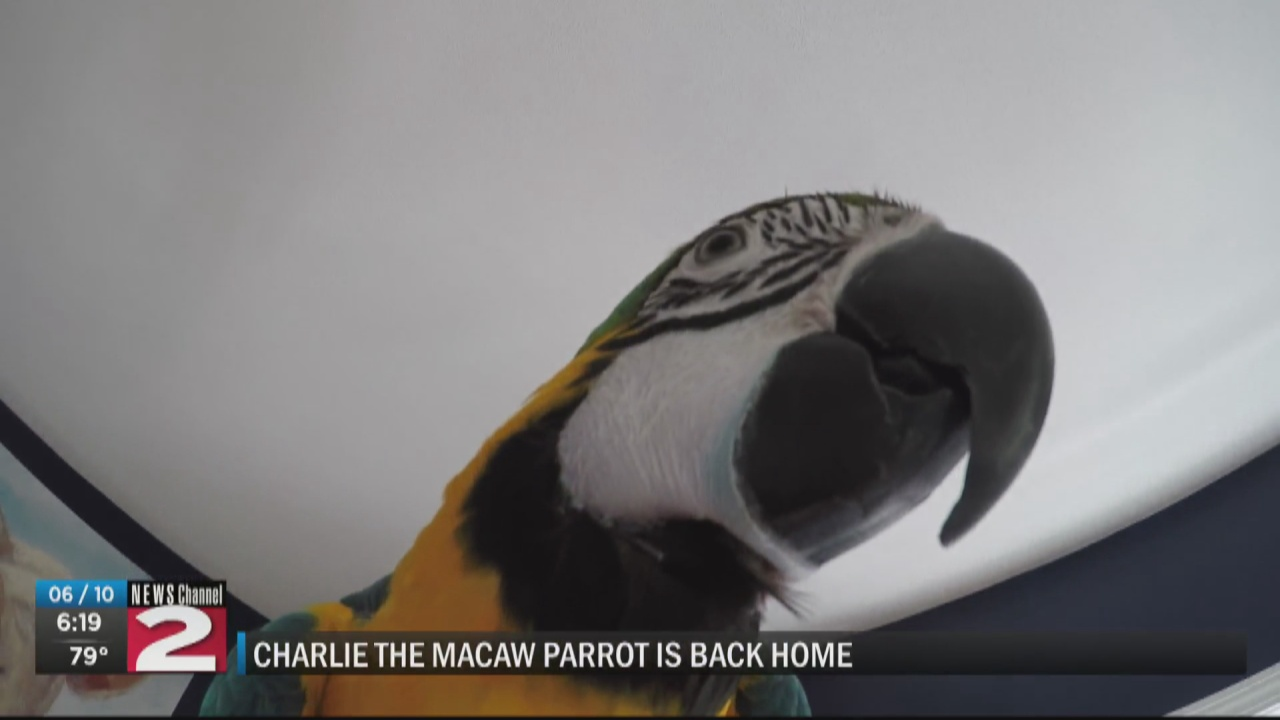 Image for Charlie the macaw is back home