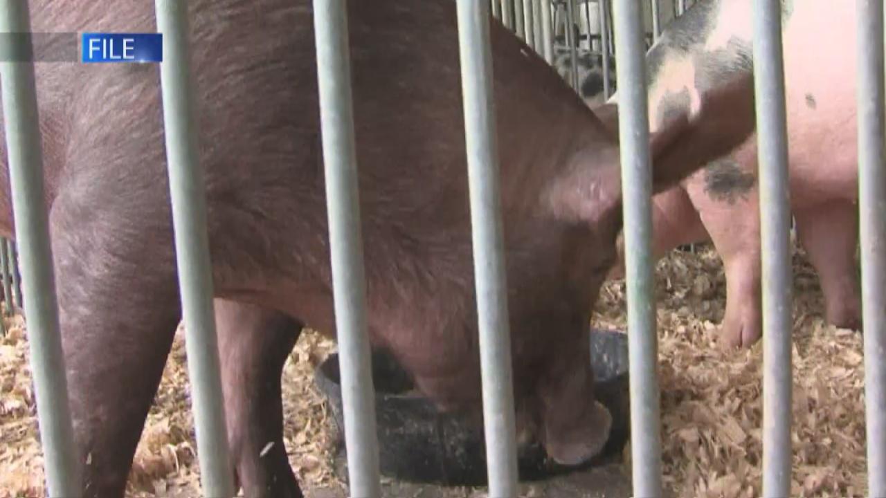 Image for Shortened stay for swine at Tippecanoe County Fair